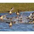 La préfecture du Puy-de-Dôme a pris un arrêté le 25 janvier 2017 portant suspension temporaire de la chasse de certaines espèces d'oiseaux. >>>Voir l'arrêté