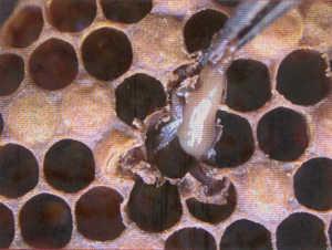 La loque américaine est une espèce de bactérie responsable d'une terrible maladie contagieuse qui touche spécifiquement le couvain (zone regroupant les larves) des colonies d'abeilles. Cette bactérie entraîne la destruction […]